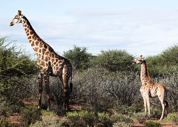 Dwarf giraffe in Namibia with adult male, March 2018