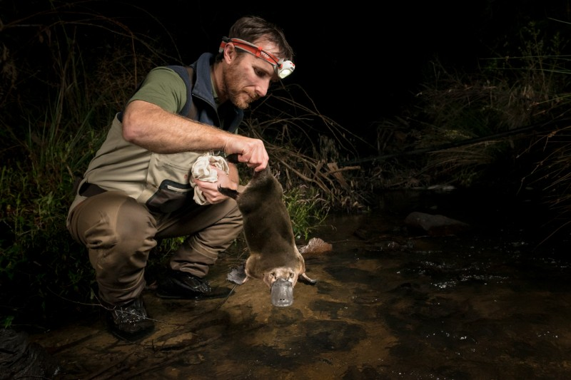 Josh Griffiths photographed at night wearing a head torch crouching in a stream holding a platypus by the tail