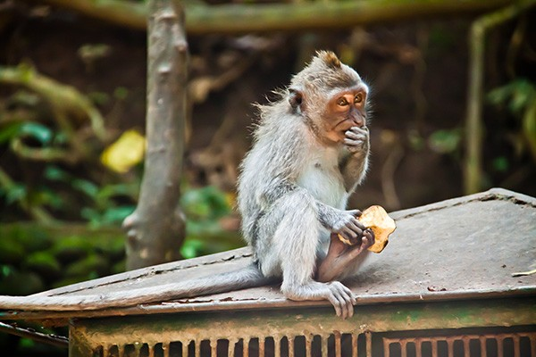 A monkey pictured at Ubud Monkey Forest in Bali