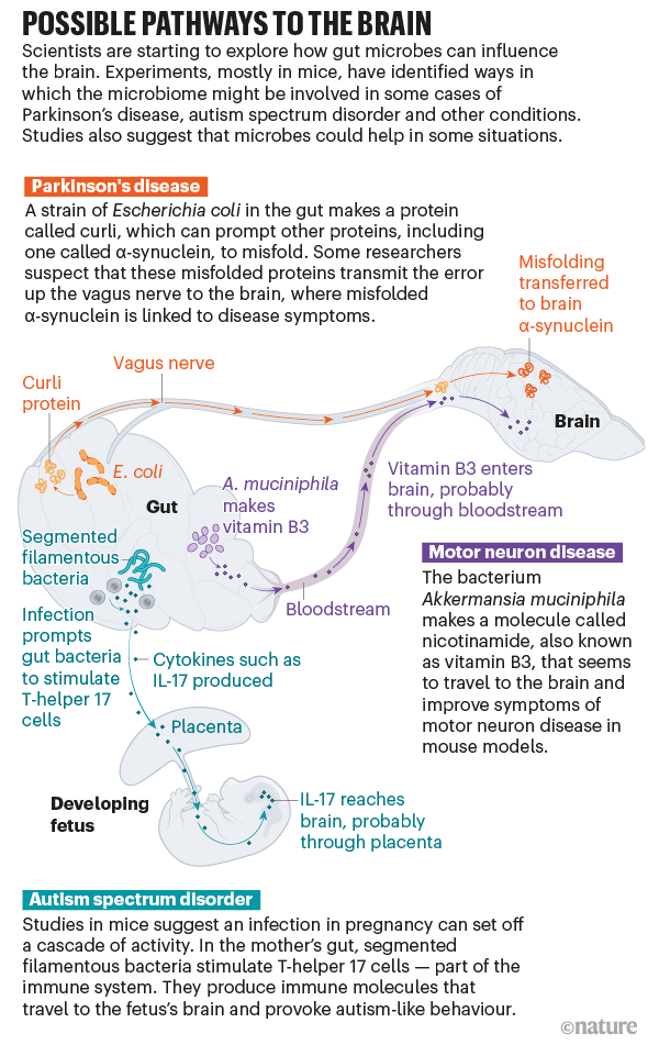 Graphic showing possible pathways in mice through which bacteria in the gut could influence the brain.
