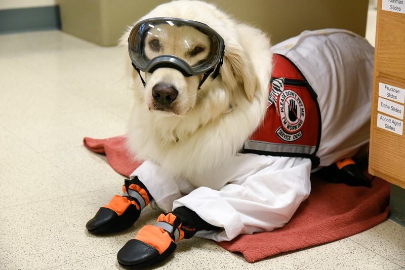 Service Dog Sampson wearing PPE