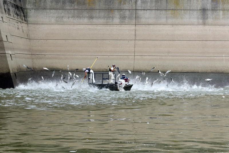 Fisheries technicians use electrofishing techniques to stun Asian Carp