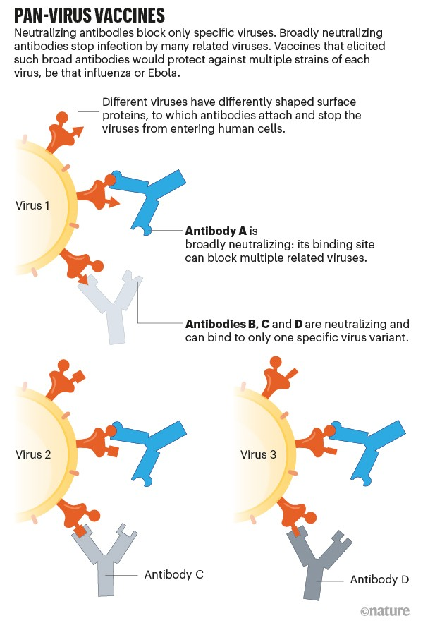 Pan-virus vaccines. Graphic showing how different antibodies bind to specific viruses. Some antibodies can bind to more.