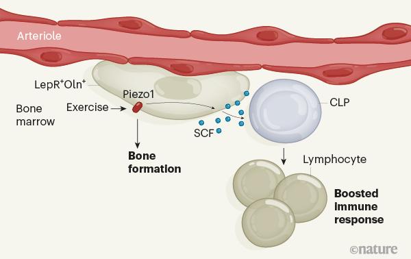 improve immune system, exercise for improved immune, stem cell news, stemcells21,