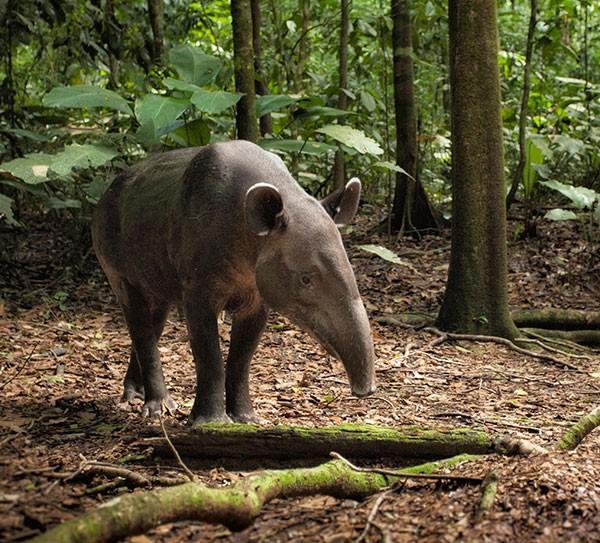 A lone Baird's Tapir (Tapirus bairdii)Corcovado National Park, Costa Rica