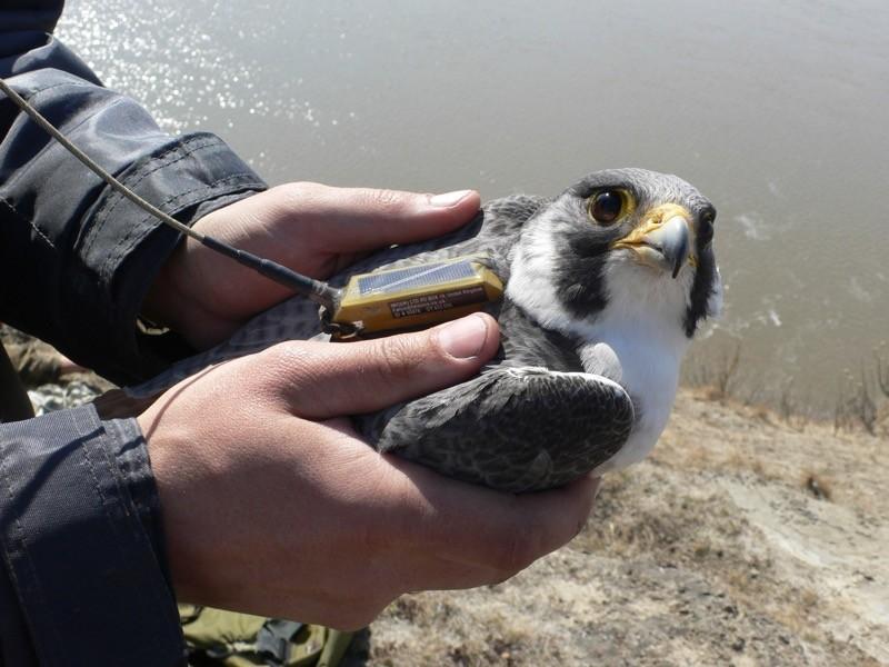 Peregrine falcon with satellite tag prior to release.