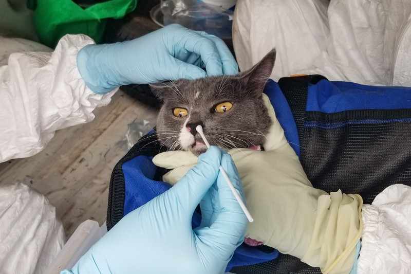 Researchers wearing gloves hold down a cat in a blue carrier as they take a nasal swab sample