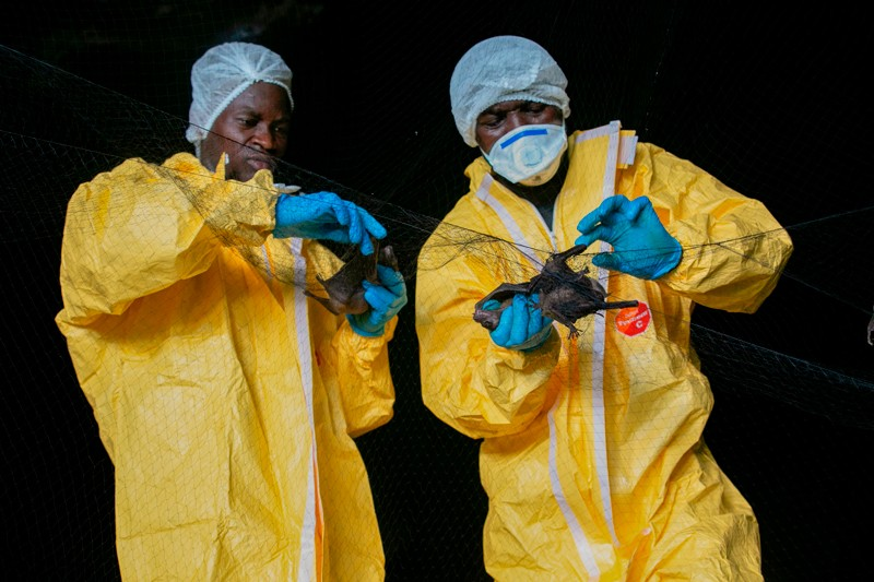 Two researchers wearing yellow overalls collect bats caught in a net inside a cave in Gabon