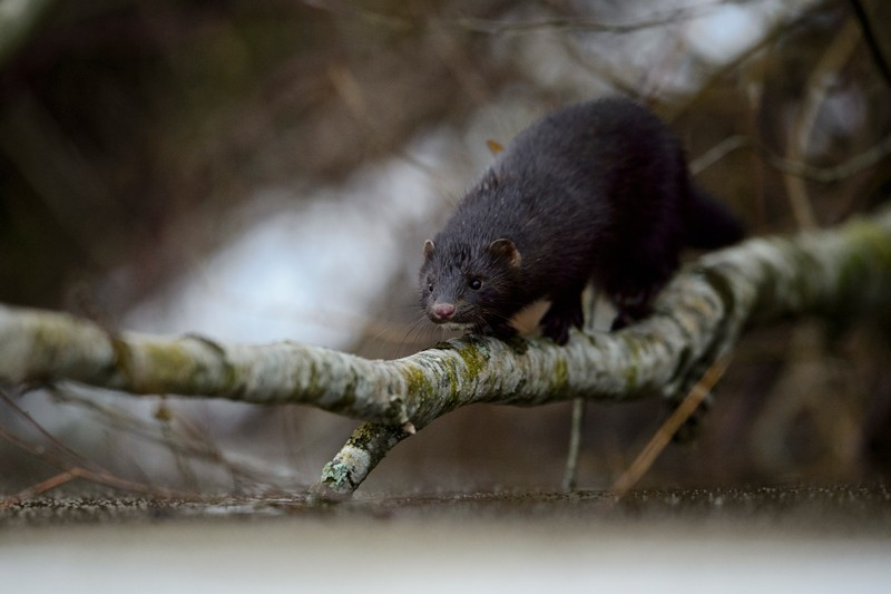 A black American mink walking across a willow branch