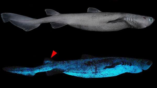 Kitefin köpekbalığının biyolüminesansını gösteren bileşik resim