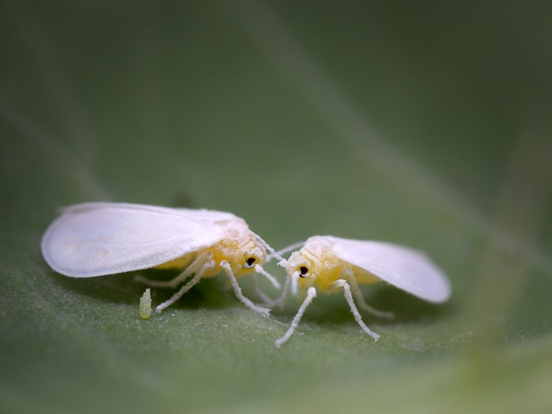 Two whiteflies and an egg on leaf, at 5x magnification.