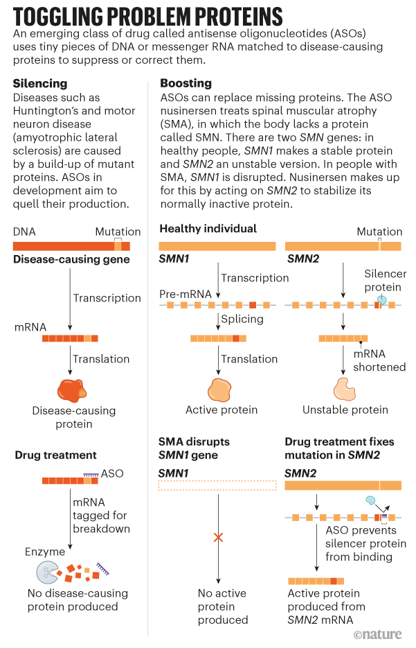 Graphic showing how antisense oligonucleotides can be used to silence or boost protein production in disease treatment.