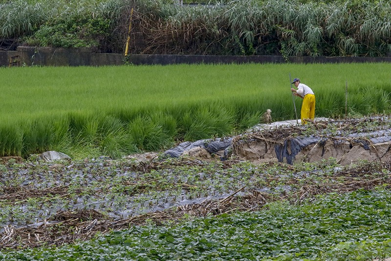 A farmer tends to his rice farm field in South Korea after a monsoon