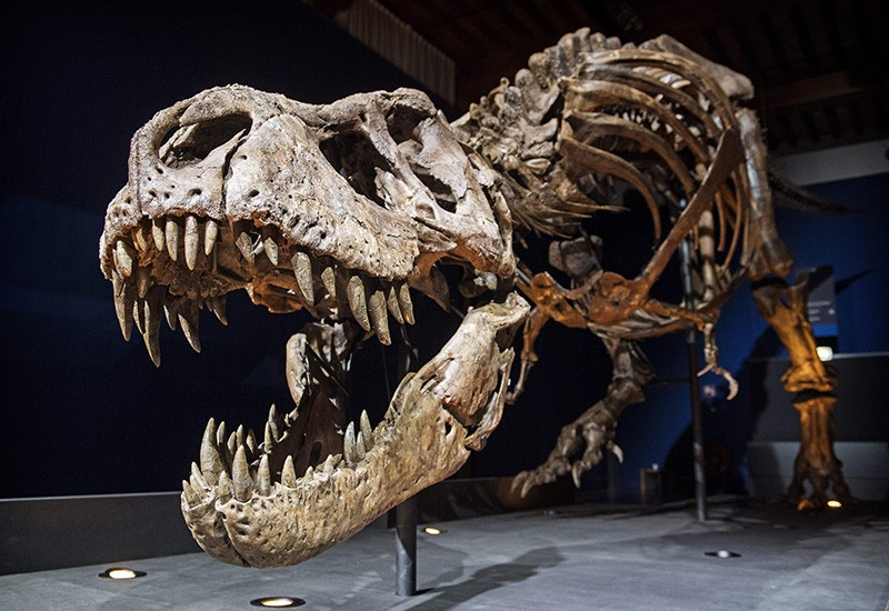 The skeleton of a Tyrannosaurus rex on exhibit in a museum