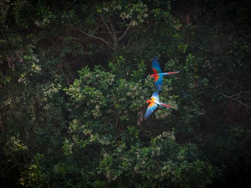 Green-winged macaw (Ara chloropterus), Brazil.