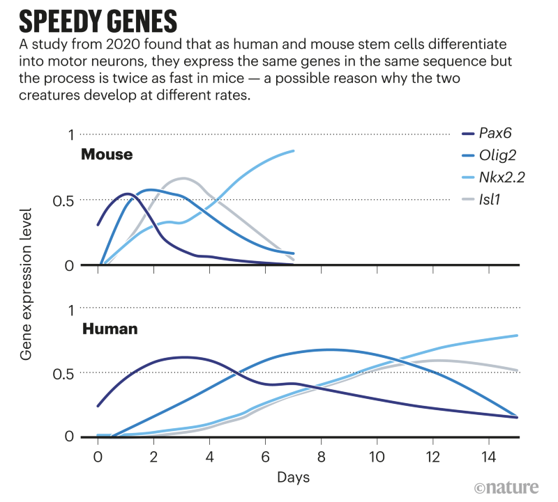 Speedy genes; Graph that compares the gene expression rates of a differentiating cell in mouse and humans.