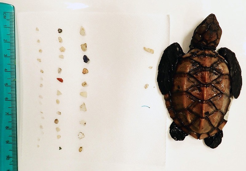 Hawaiian hawksbill sea turtle post-hatchling pictured besides its microplastic stomach contents