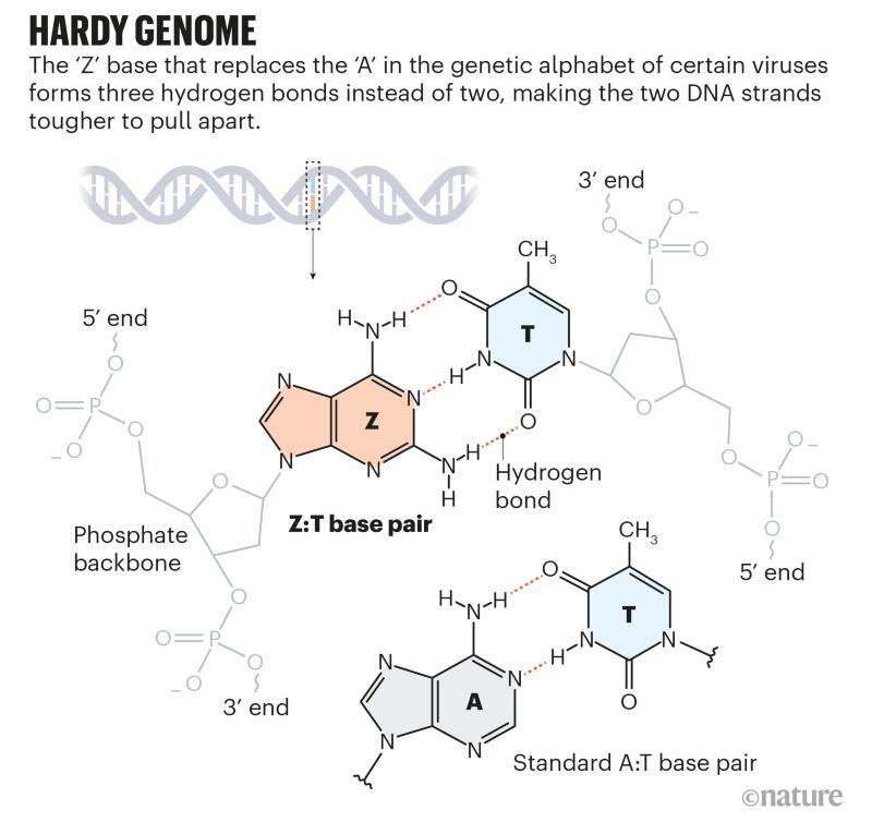 Genoma de Hardy: gráfico que mostra como o par de bases Z: T forma três ligações de hidrogênio, em comparação com duas no par de bases A: T.