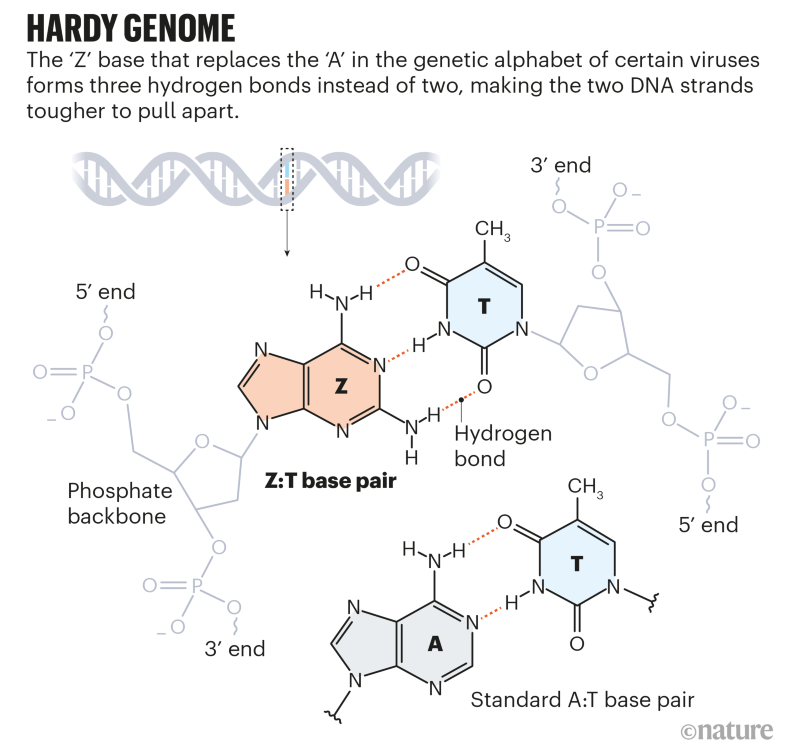 Hardy genome: graphic that shows how the Z:T base pair forms three hydrogen bonds, compared to two in the A:T base pair.