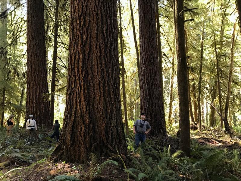 İnsanlar eski bir Douglas köknar ormanındaki ağaçlara bakıyor.