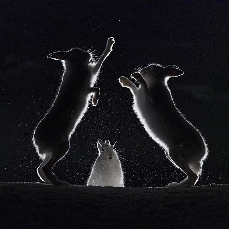 Mountain hares fight at night in Norway