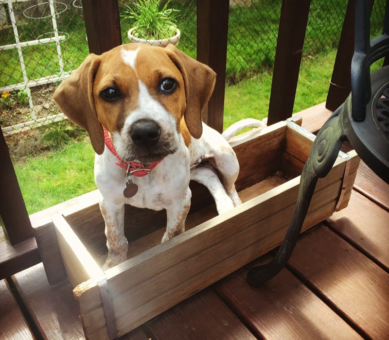 A dog sitting in a wooden box on a garden deck.