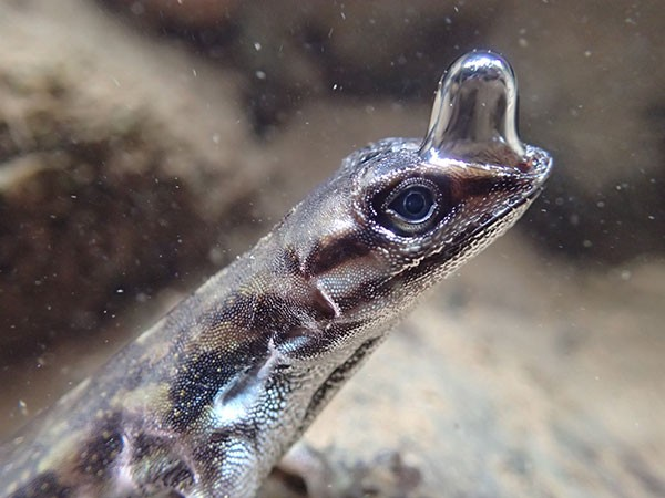 A bubble stretches out from the snout of an underwater Anolis lizard.