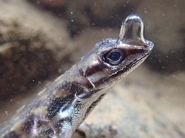 Bir sualtı Anolis kertenkelesinin burnundan bir baloncuk uzanıyor.