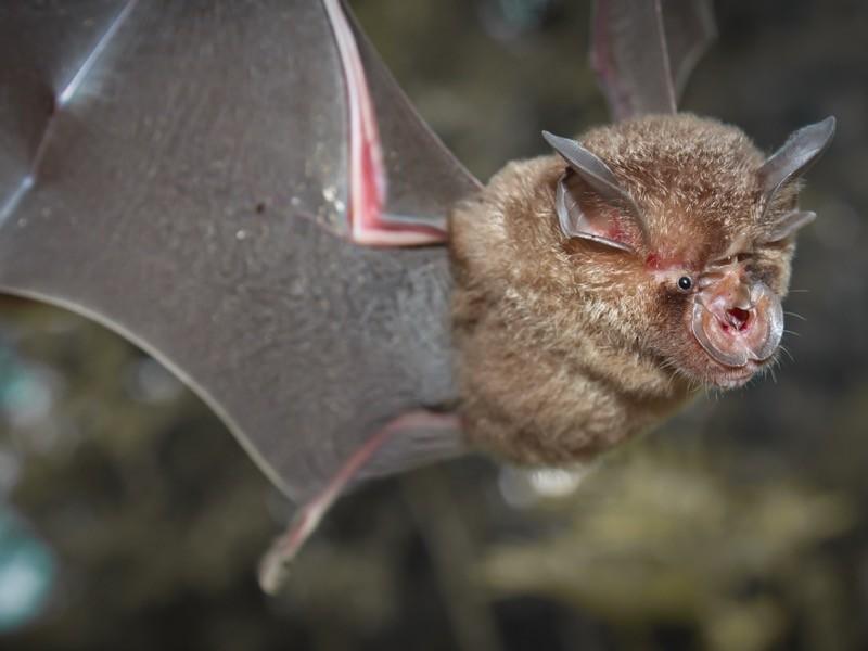 An intermediate horseshoe bat (Rhinolophus affinis) in flight