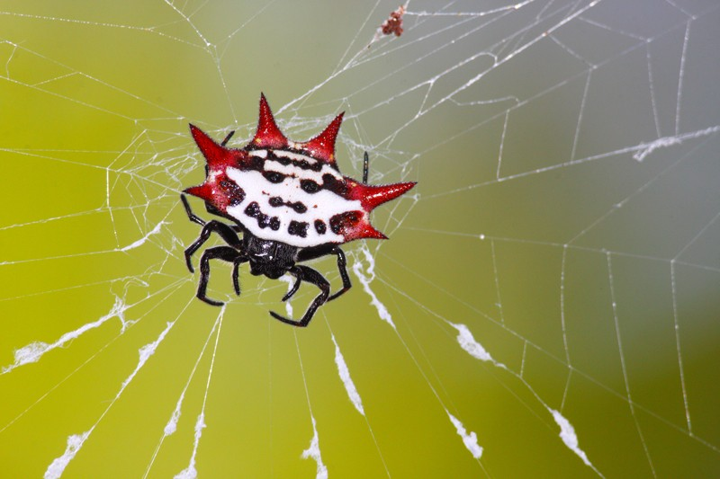 Spinybacked Orb-weaver spider on its web has black legs, a white body with black spots and six bright red spines