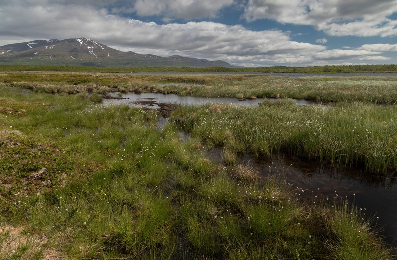 View of a boggy landscape with pools of meltwater and cotton-grasses at Stordalen, Sweden