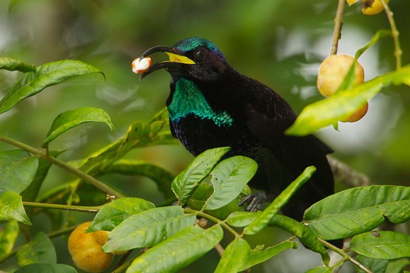 Papua Yeni Gine'de meyve veren Dysoxylum ağacında beslenen Paradise Riflebird (Ptiloris cennetus) erkek