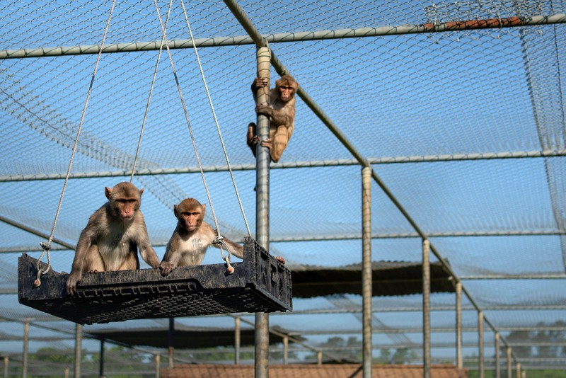 Monkeys sitting on a crate swing in a large caged enclosure.