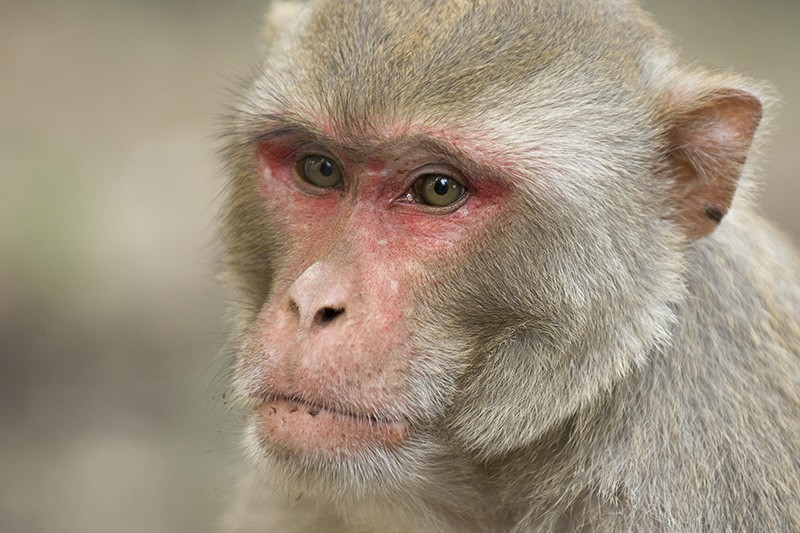 A close up of the face of a Rhesus Macaque (Macaca mulatta)