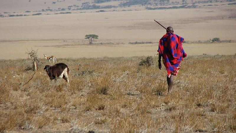 A Maasai man walks with his goat through the flat grassy plains of Eastern Serengeti, Africa.