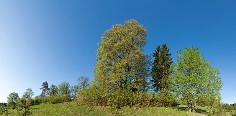 A sacred tree grove in Estonia.