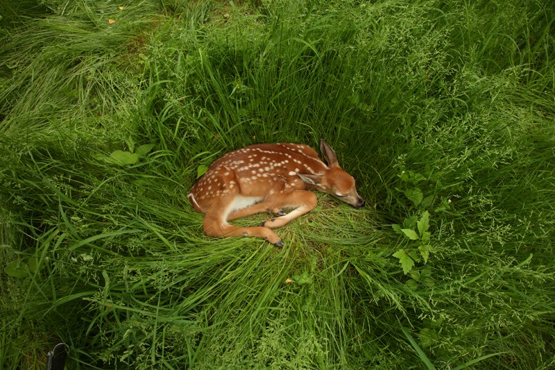 White-tailed deer fawn resting in long grass