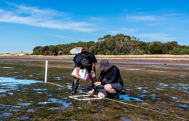 Two researchers studying the distribution of seagrass during low tide in Victoria, Australia.