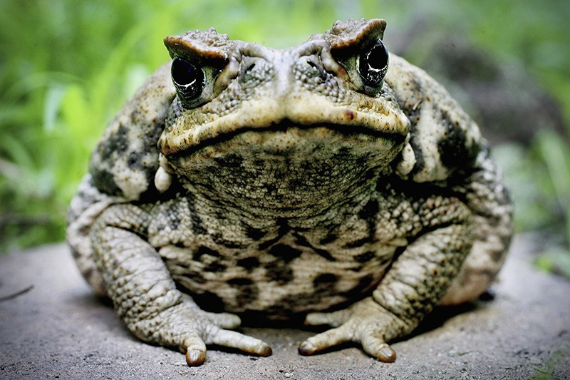 A Cane Toad is exhibited at Taronga Zoo August 9, 2005 in Sydney, Australia.