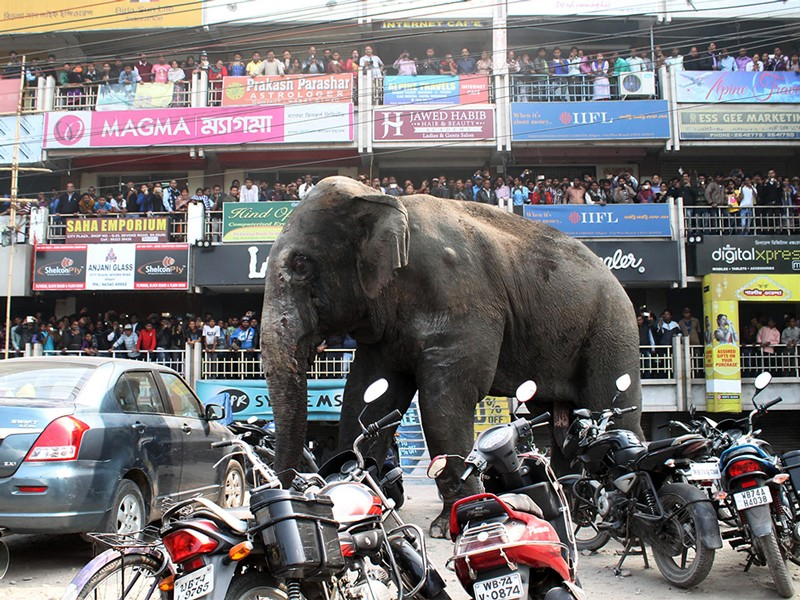 Indian bystanders watch as a wild elephant walks along a busy street in Siliguri on February 10, 2016.