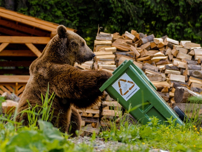 Brown bear looking into trash bin with sigh compostable.