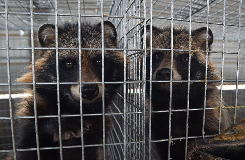 Raccoon dogs in their cages at a farm which breeds animals for fur in Zhangjiakou, in China's Hebei province.