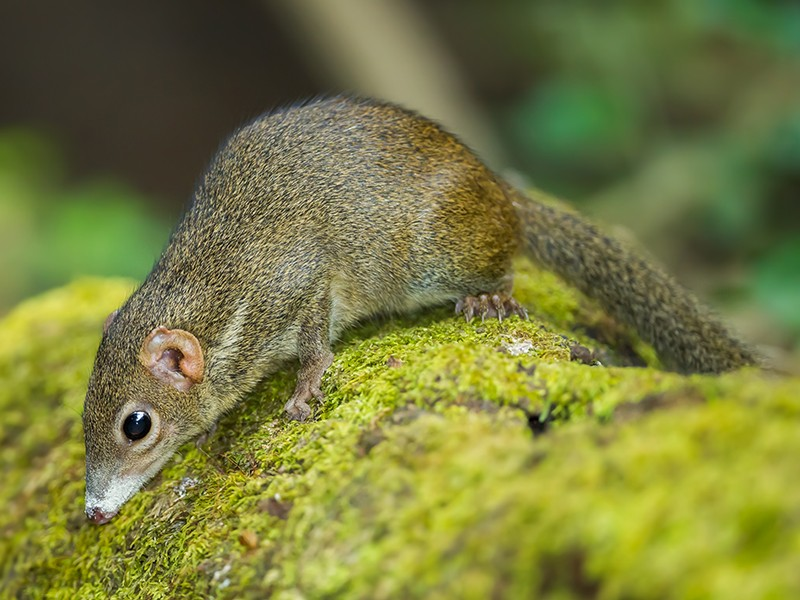 Close up of common treeshrew (Tupaia glis) in forest of Thailand.