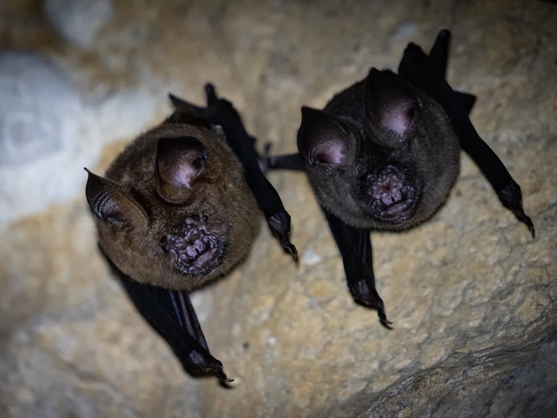 Close up group of small sleeping horseshoe bat in cave.