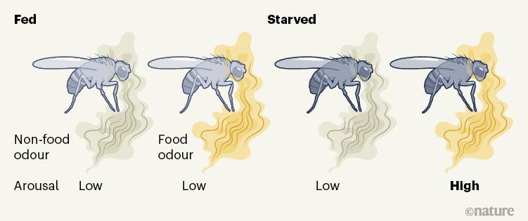 A fly's internal state affects its response to sensory information during sleep.