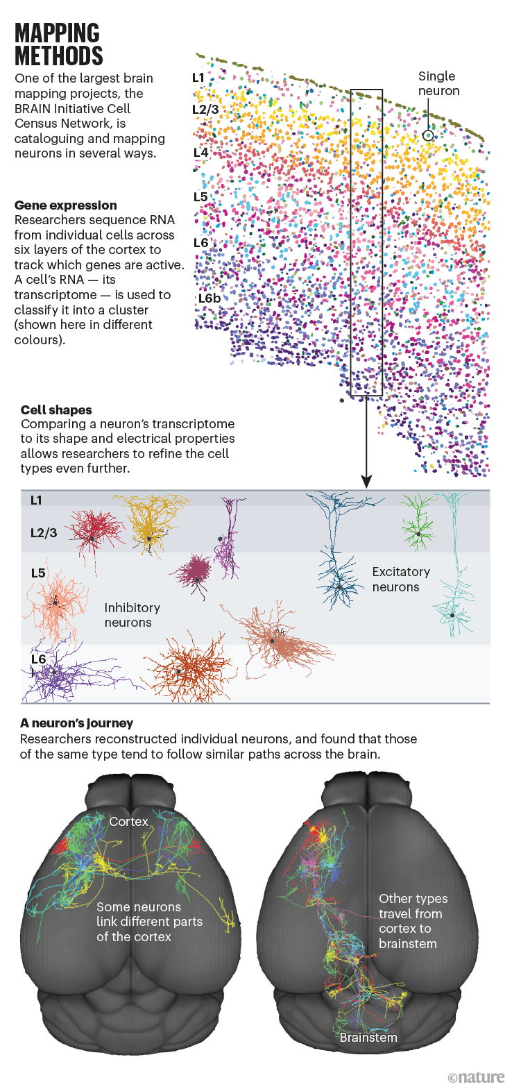 MAPPING METHODS: infographic showing how the BRAIN initiative Cell Census Network catalogues and maps neurons