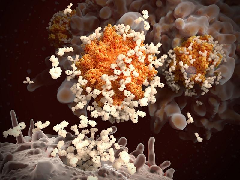 Illustration of antibodies (cream) responding to an infection with the new coronavirus SARS-CoV-2 (orange).