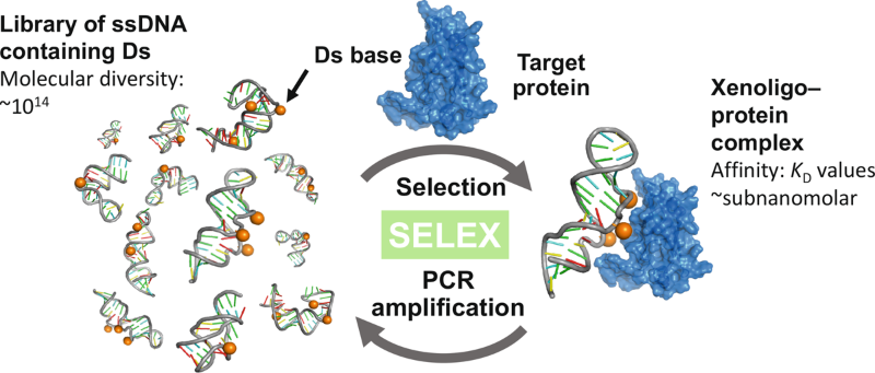 Competitive ELISA for a serologic test to detect dengue