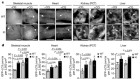 Disruption of the beclin 1–BCL2 autophagy regulatory complex promotes longevity in mice