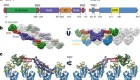 Structural basis of mitochondrial receptor binding and constriction by DRP1